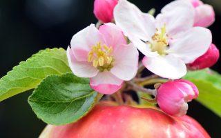 Výběr, péče a výsadba ovocných stromů