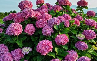 Hydrangea macrophylla Forever&Ever®