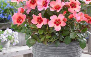 Perská růže – Rosa Persica