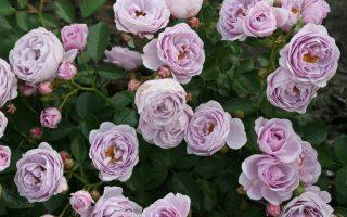 Nejkrásnější růže světa Kordes®