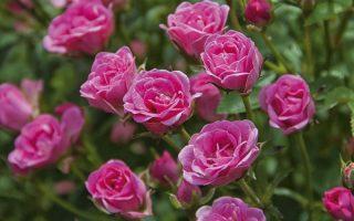Minikeřová růže LillyRose 'Wonder 5'