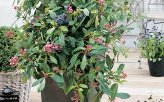 Fuchsia arborescens - Mexická borůvka 'Berry Blue®'