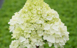 Úžasné novinky odrůd hortenzie latnaté