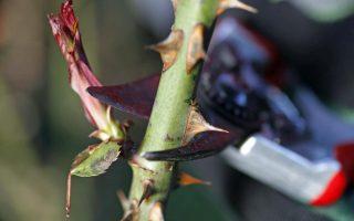 Jak na jarní řez růží ?