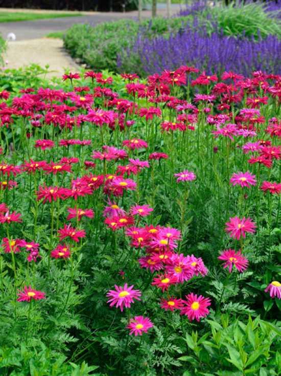 "Chrysanthemum cocineum /""Robinson Rot/"" Bunte Margerite"