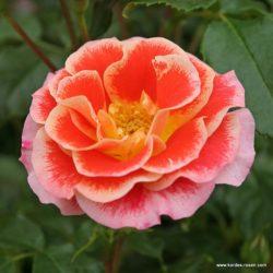 Velkokvěté růže - čajohybridy
