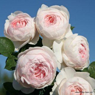 Floribundy - mnohokvěté