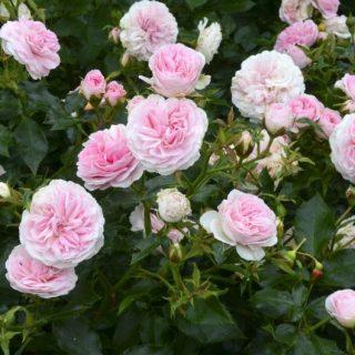 Růže KORDES®