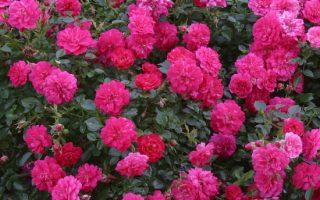 Růže Kordes jsou dokonale vyšlechtěné a představují naprostou špičku mezi růžemi