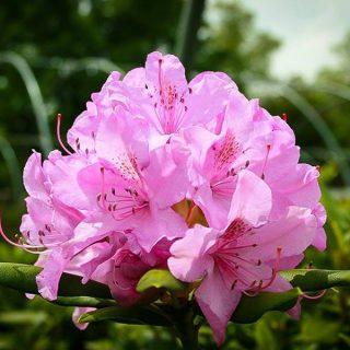 Rhododendrony a azalky