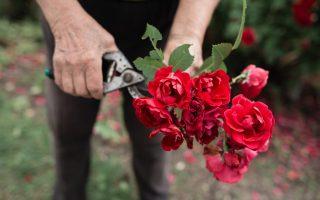 Jak na umístění a ošetřování růží podle druhu