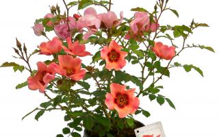 Rosa persica: divoká kráska Orientu, která si vás získá, taková je perská růže