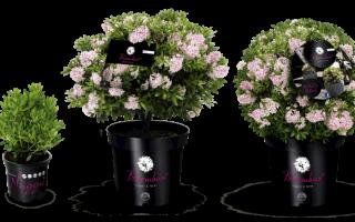 "Rhododendron micranthum ""Bloombux"": odhalte jeho krásu"