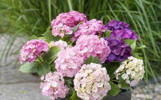 Hortenzie Forever&Ever® je výbornou volbou na vaši zahradu