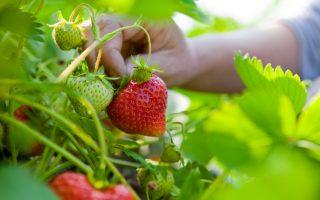 Jahody, maliny, ostružiny a další drobné ovoce na vaši zahradu